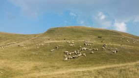 Bosnia and Herzegovina / Sheeps Browses In The Mountain stock photo