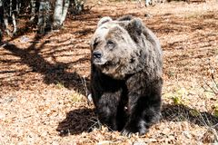 Bosnian dark bear somewhere in mountain. The closeup snapshot of the dark bear walks on meadow in Bosnian mountains Royalty Free Stock Image