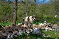 Bosnian Shepherd Dog (Tornjak). Bosnian Shepherd Dog, Tornjaks are large and powerful mountain dogs. The Tornjak is one of the very old breeds from ancient times Royalty Free Stock Photo
