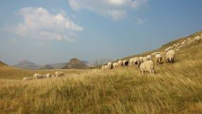 Bosnien och Hercegovina/Sheeps i berget fotografering för bildbyråer