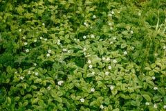 Bosopen plek van tot bloei komende aardbeien Royalty-vrije Stock Afbeelding
