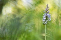 Bosorchis - общее запятнанная орхидея - fuchsii Dactylorhiza Стоковые Фотографии RF
