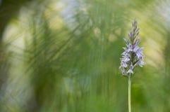 Bosorchis - Gemeenschappelijke bevlekte orchidee - Dactylorhiza-fuchsii Royalty-vrije Stock Fotografie