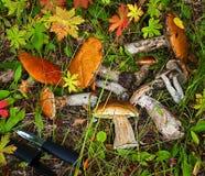 Bospaddestoelen in het gras Stock Afbeeldingen