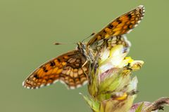Bosparelmoervlinder, Heath Fritillary, athalia di Melitaea immagini stock