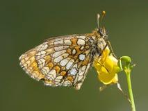 Bosparelmoervlinder, Heath Fritillary, athalia di Melitaea immagine stock libera da diritti