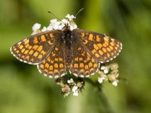 Bosparelmoervlinder Heath Fritillary, Melitaea athalia royaltyfria foton