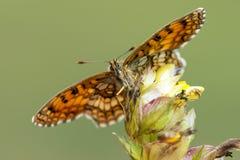 Bosparelmoervlinder Heath Fritillary, Melitaea athalia arkivbilder