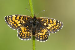 Bosparelmoervlinder Heath Fritillary, Melitaea athalia arkivbild