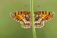 Bosparelmoervlinder Heath Fritillary, Melitaea athalia royaltyfri fotografi