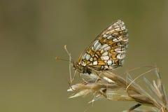 Bosparelmoervlinder Heath Fritillary, Melitaea athalia arkivfoton