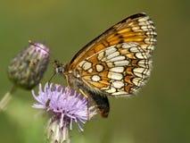 Bosparelmoervlinder Heath Fritillary, Melitaea athalia fotografering för bildbyråer
