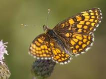 Bosparelmoervlinder, Wrzosowiskowy Fritillary, Melitaea athalia zdjęcia royalty free