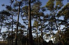 Bospijnboom Stock Afbeeldingen