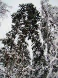 Bospijnboom en sparren na de zware sneeuwval stock afbeeldingen