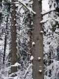 Bospijnboombomen na de zware sneeuwval royalty-vrije stock foto