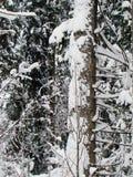 Bospijnboombomen na de zware sneeuwval stock fotografie