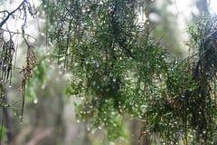 Bospijnboomtakken na de regen Stock Foto's