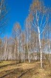 Bosque abril del abedul del paisaje de la primavera Abedules con el l no florecido Fotografía de archivo libre de regalías