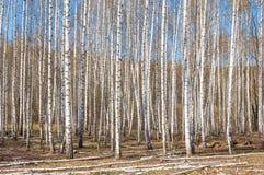 Bosque abril del abedul del paisaje de la primavera Abedules con el l no florecido Fotografía de archivo
