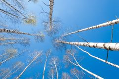 Bosque abril del abedul del paisaje de la primavera Abedules con el l no florecido Fotos de archivo