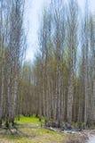 Bosque abril del abedul del paisaje de la primavera Abedules con el l no florecido Fotos de archivo libres de regalías