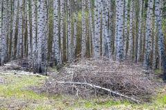 Bosque abril del abedul del paisaje de la primavera Abedules con el l no florecido Imagenes de archivo