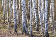 Bosque abril del abedul del paisaje de la primavera Abedules con el l no florecido Imagen de archivo libre de regalías