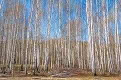 Bosque abril del abedul del paisaje de la primavera Abedules con el l no florecido Foto de archivo