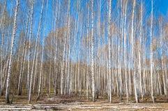 Bosque abril del abedul del paisaje de la primavera Abedules con el l no florecido Imágenes de archivo libres de regalías
