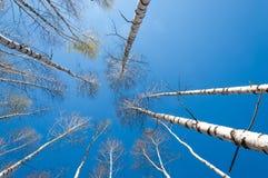 Bosque abril del abedul del paisaje de la primavera Abedules con el l no florecido Foto de archivo libre de regalías