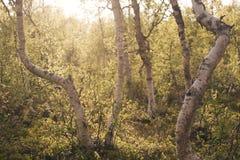Bosque abstracto del abedul Foto de archivo libre de regalías