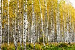 Bosque adiantado do vidoeiro do outono imagens de stock royalty free