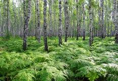 Bosque agradable del abedul del verano Fotografía de archivo