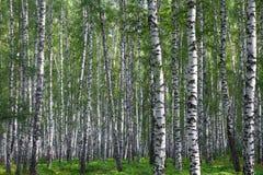 Bosque agradable del abedul del verano Imagen de archivo