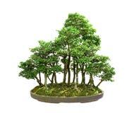 Bosque aislado de los bonsais en pote fotografía de archivo