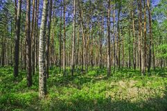 Bosque alto en primavera temprana Fotos de archivo