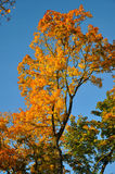 Bosque amarillo del arce rojo de la caída con el cielo azul Imágenes de archivo libres de regalías