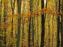 Bosque amarillo del otoño Imagen de archivo libre de regalías