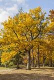 Bosque amarillo del otoño fotografía de archivo