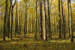 Bosque amarillo otoñal en un día soleado imágenes de archivo libres de regalías