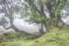 Bosque antiguo del laurel en la niebla Fotografía de archivo libre de regalías