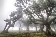 Bosque antiguo del laurel en la niebla Imagen de archivo