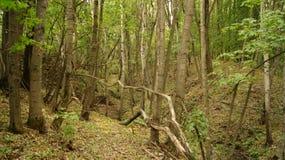 Bosque, arbolado Foto de archivo libre de regalías
