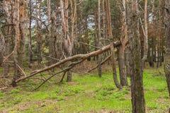 Bosque arruinado de la tormenta Fotos de archivo libres de regalías