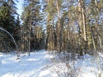 Bosque asoleado del invierno foto de archivo