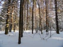 Bosque asoleado del invierno Imagen de archivo