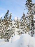 Bosque asoleado del invierno Fotos de archivo libres de regalías