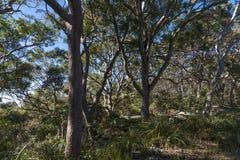 Bosque australiano de la costa este de los árboles del eucalipto Imagen de archivo