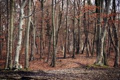 Bosque bávaro hermoso del abedul, paisaje de la opinión del invierno Fotografía de archivo libre de regalías